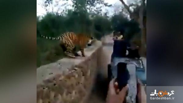 حمله ببر وحشی به گردشگران